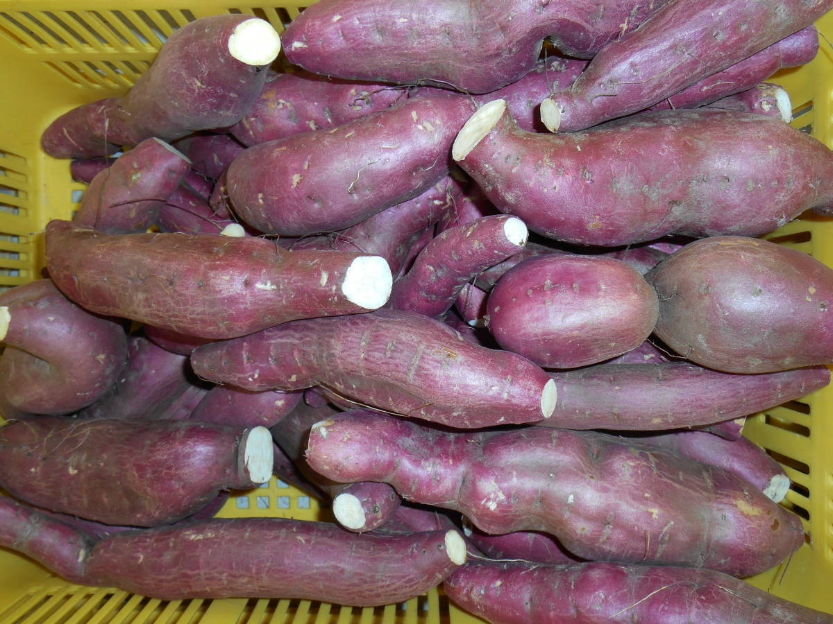 農園直送熟成ゆめいも訳ありB級品10キロ入りなると金時鳴門金時業務用にお勧め大きさ形様々ですが大人気のお芋さん。