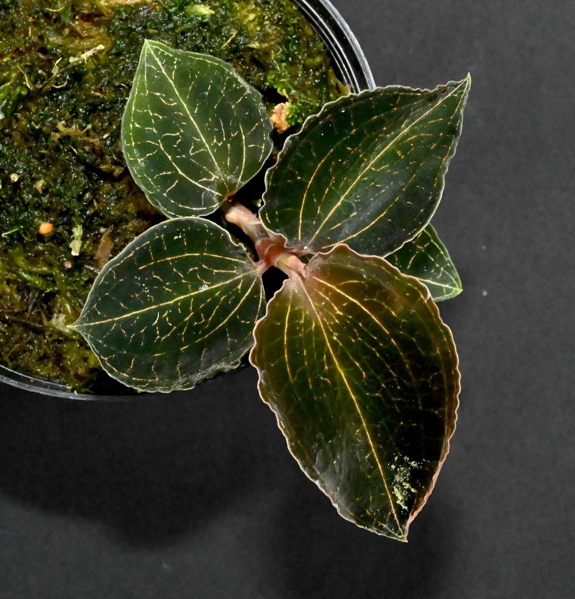 洋蘭原種 (070)ブラックジュエルオーキッド Anoectochilus roxburghii アネクトキラス ロクスバーギー