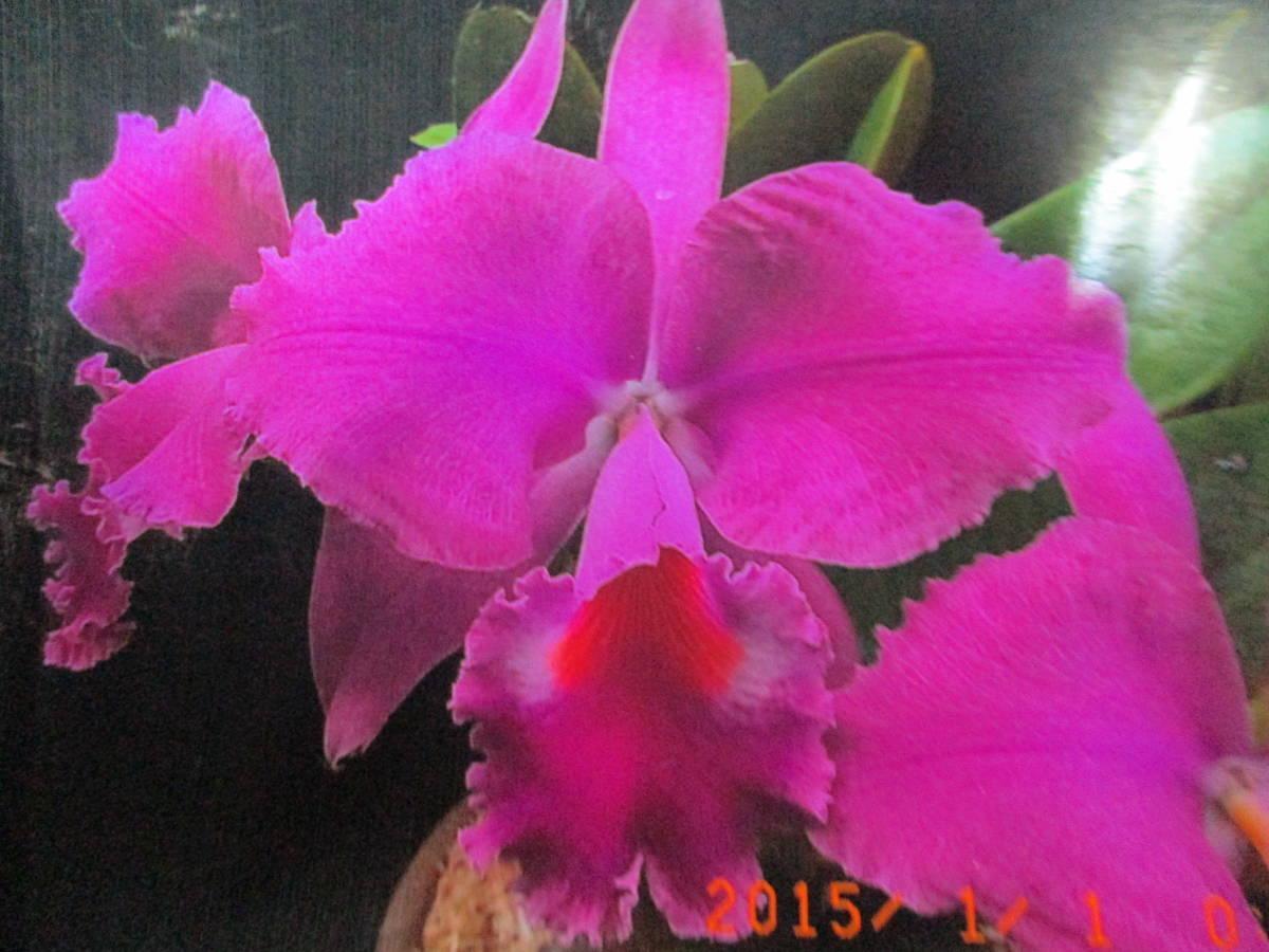 洋蘭 原種 カトレア C.jenmanii f.rubra 'Jango' SMB/JOGA