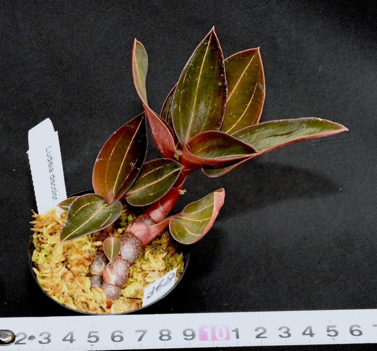 洋蘭原種 368 ジュエルオーキッド Ludesia discolor ' 368'ルデシア ディスカラー