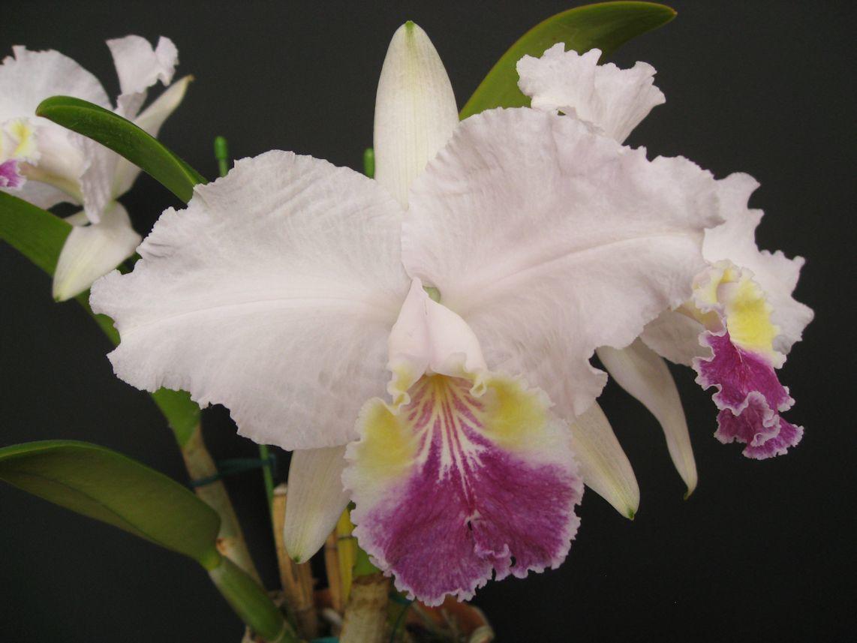 洋蘭 原種 C. lueddemanniana fma. coerulea 'Siqui Sique' AM/AOS SM/JOGA (OG)