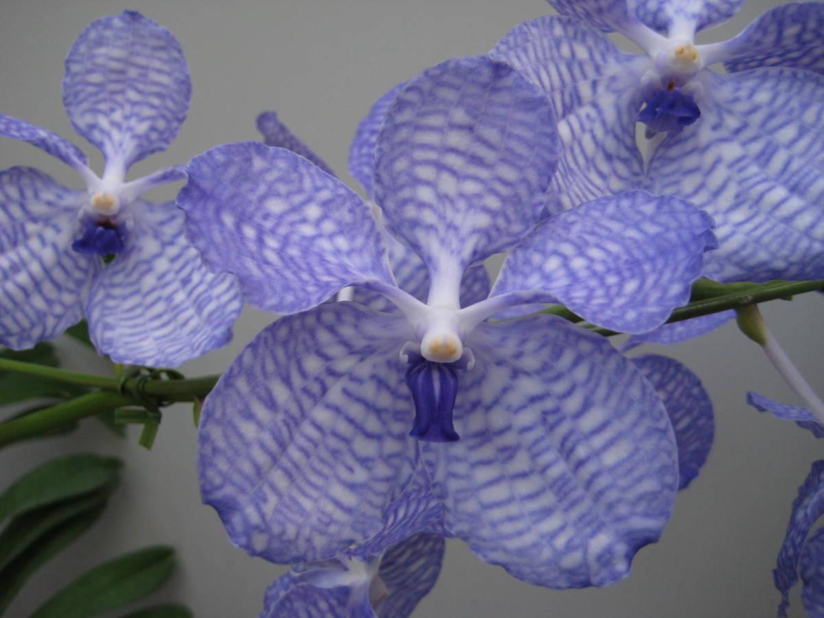 洋蘭 原種 バンダ V. coerulea 花芽付
